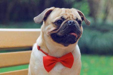 犬传染性肝炎的临床症状