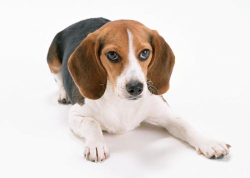犬传染性肝炎的治疗注意事项