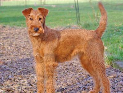 犬冠状病毒的诊断及治疗
