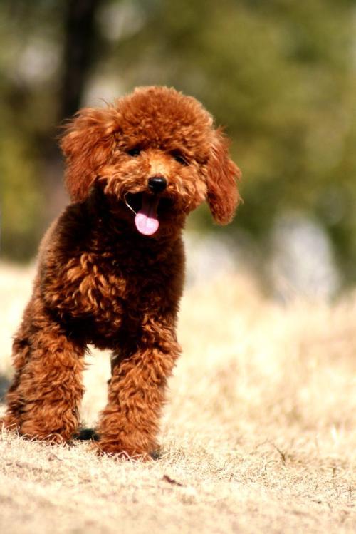 犬冠状病毒的症状