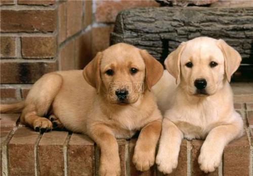 犬冠状病毒的流行病学及病理变化