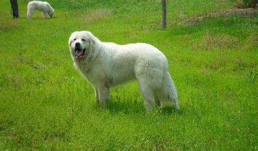 狗狗肺炎的病因及症状