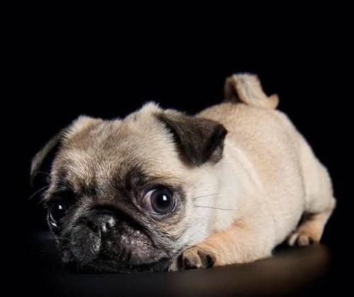 犬类钩端螺旋体病有哪些临床症状表现