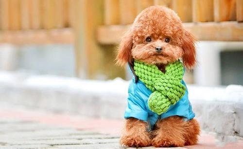 一例贵宾犬细小病毒病的治疗