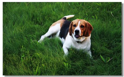 犬布鲁氏菌病的临床症状