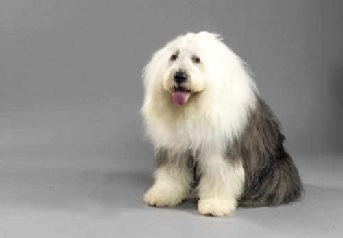 犬布鲁氏菌病是什么 如何预防犬布鲁氏菌