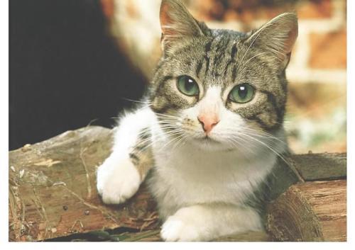 猫咪真菌感染怎么治