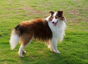 犬诺卡氏菌病的症状表现