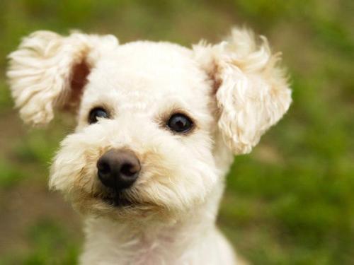 贵宾犬的常见皮肤病及多泪症