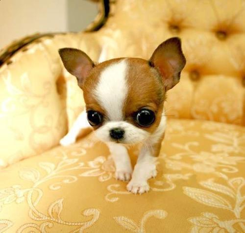 狗狗身上有跳蚤怎么办