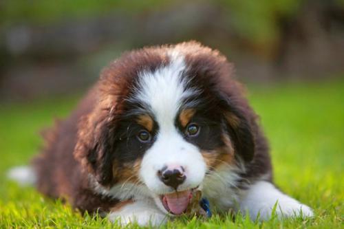 狗狗得病毒性疱疹是什么症状