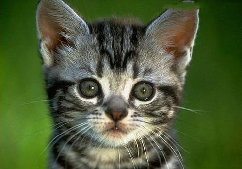 猫咪感染蛔虫的常识