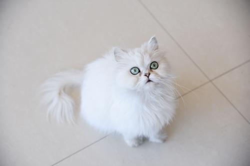 猫咪常见的内寄生虫病之蛔虫病