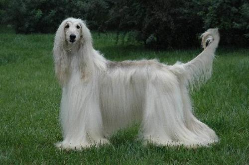 阿富汗猎犬外耳炎的症状