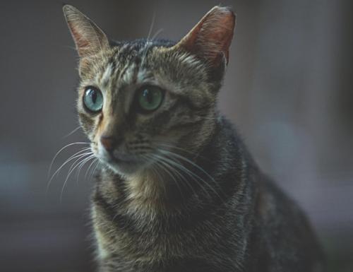 猫咪口炎的诊断与症状