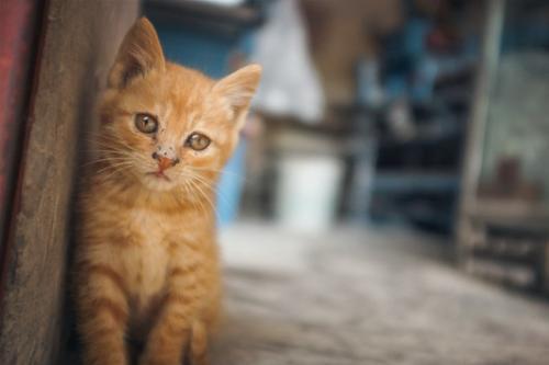 引起猫咪口炎的原因分析