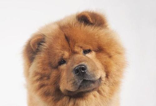 一例松狮串犬的口炎病例分析
