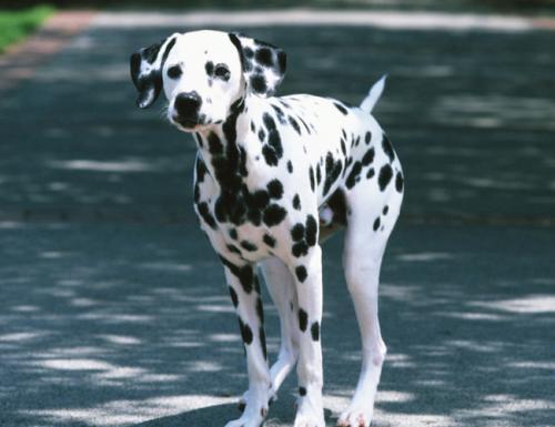 犬食道梗阻的发病机理