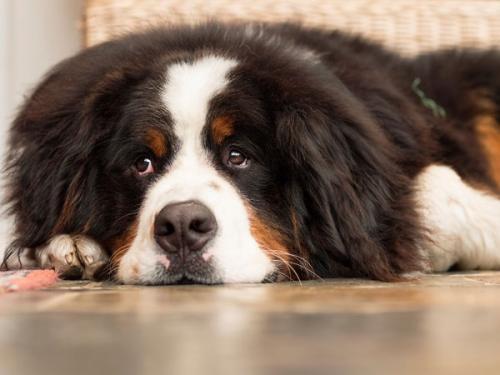 常见狗狗肠胃问题的症状表现