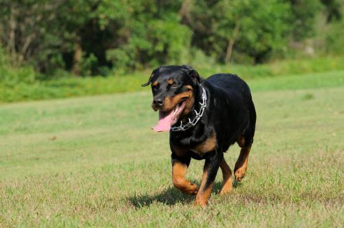 狗狗胃扩张疾病简介