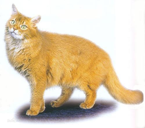 为何猫咪会出现幽门阻塞