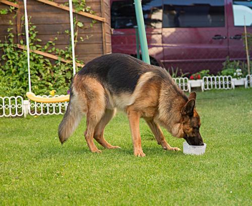 一例牧羊犬严重肠套叠病例分析