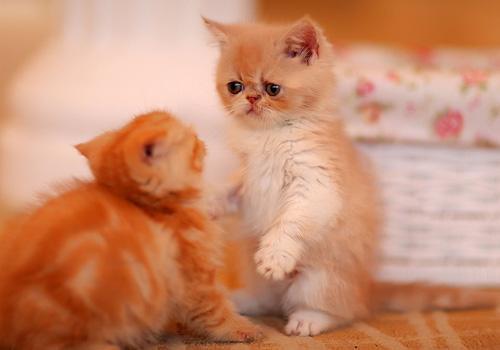 猫咪常见的内寄生虫病之钩虫病