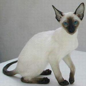 猫咪常见的内寄生虫病之绦虫病