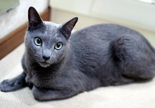 猫咪绦虫病的认知和防治