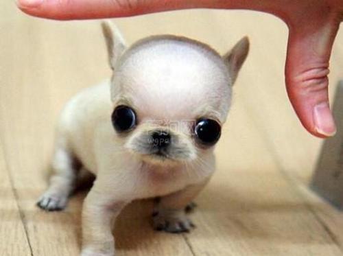 宠物犬繁殖中陨石基因和白色基因在遗传方面的资料