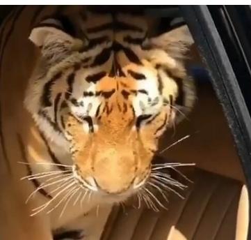 富二代炫富:带宠物老虎开豪车 用香槟洗马桶