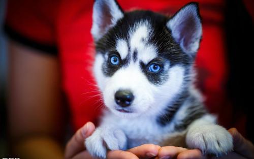 哈士奇犬瘟(犬瘟热)的治疗方法