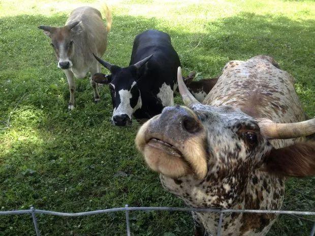 听说现在流行一种比羊驼还拉风的宠物:迷你牛