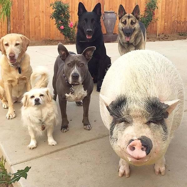 """都说""""狗是人类最好的宠物"""",猪不干了!"""