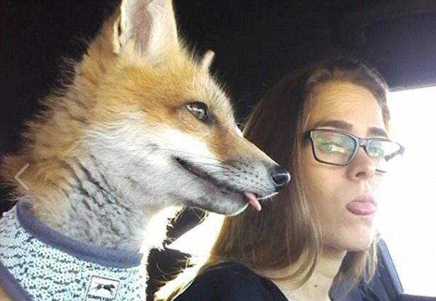 美夫妇家养狐狸当宠物惹争议 每日带其散步