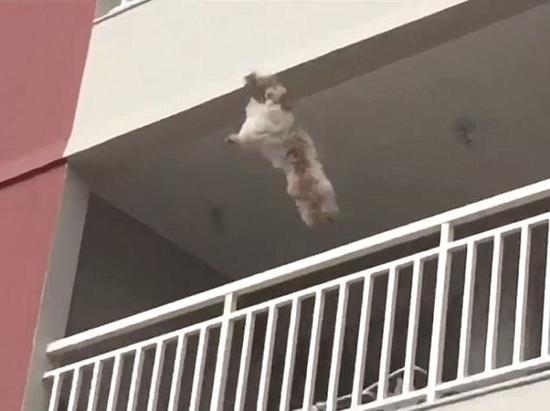 巴西一宠物犬从四楼坠落 被众邻居拉床单接住