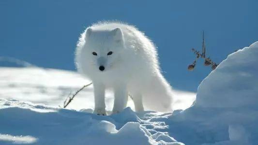 漂亮又粘人!嘉兴男子养了只白狐狸当宠物,半年后惨了……