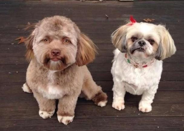 泰国宠物狗美容后长了一张人脸 照片令网友不可思议