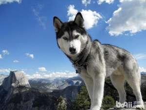 哈士奇成犬喂养中的七点小知识