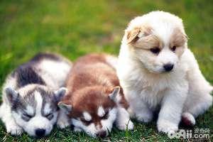 幼犬奶糕和幼犬粮的区别