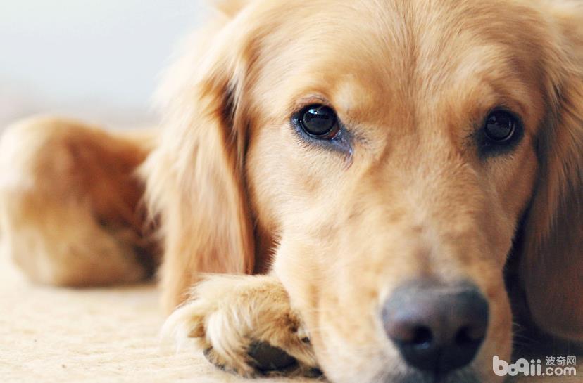 狗狗一直掉毛的原因,为什么狗狗一直掉毛