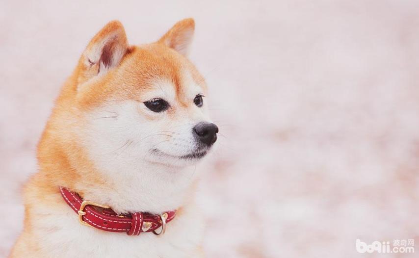 柴犬毛色发白的原因是什么,如何可以加深柴犬的毛色