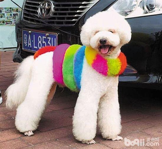 狗狗染毛要注意什么,不适合染毛的狗狗都有哪些