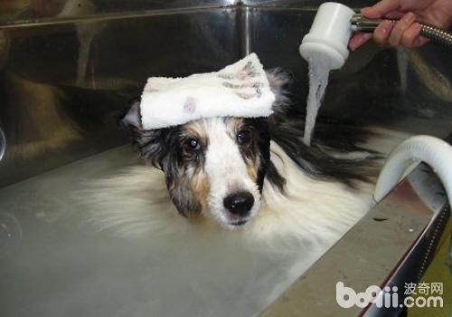 第一次尽量送到美容院洗澡,了解相关要点