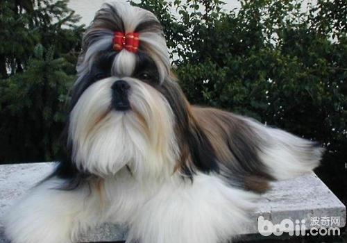 可以自己为狗狗做一些简单的美容