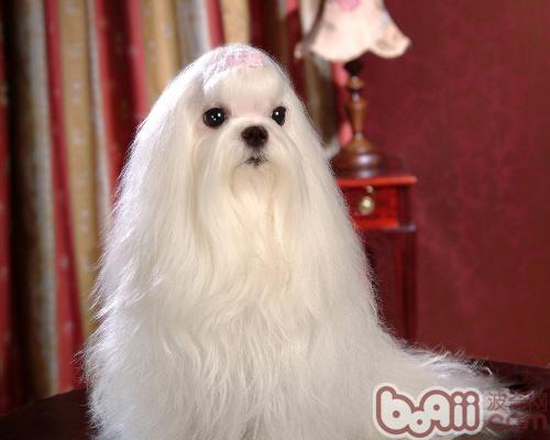 马尔济斯犬