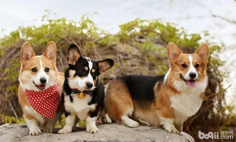 柯基幼犬如何饲养,柯基呦犬饲养方法