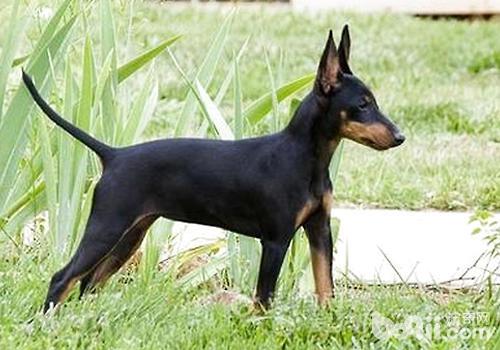 德国宾沙犬