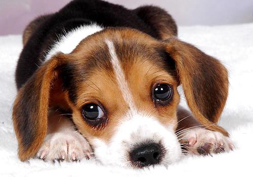 先对各种狗狗的外貌特征有一定的了解