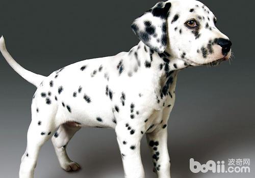 狗狗的理解力是与生俱来的